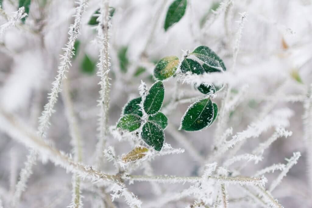 Late-spring frost risks: evolution and tree adaptation